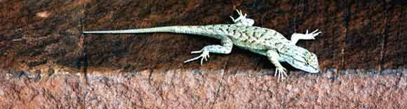 Lizard in Canyonlands National Park